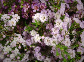 Double Waxflower