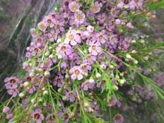 Lavender Waxflower