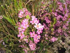 Pink Waxflower