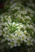 White Waxflower