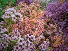 Assorted Waxflower