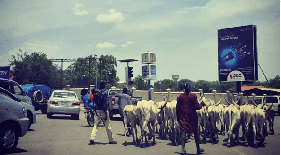 Herds of cattle passing the streets of South Sudan capital, Juba, May 2015(Photo credit: Lokuowe Gordon/Nyamilepedia)