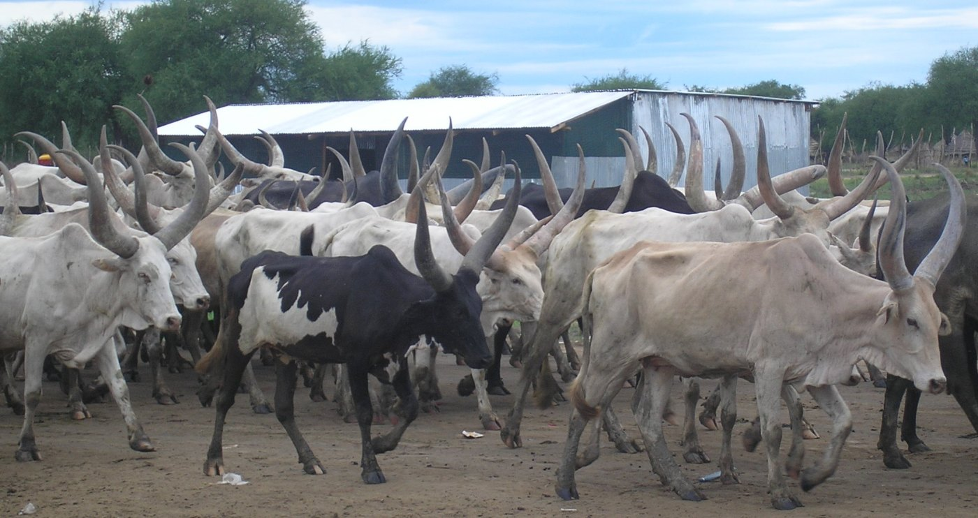 A herd of cattle in South Sudan(Photo credit: unknown)