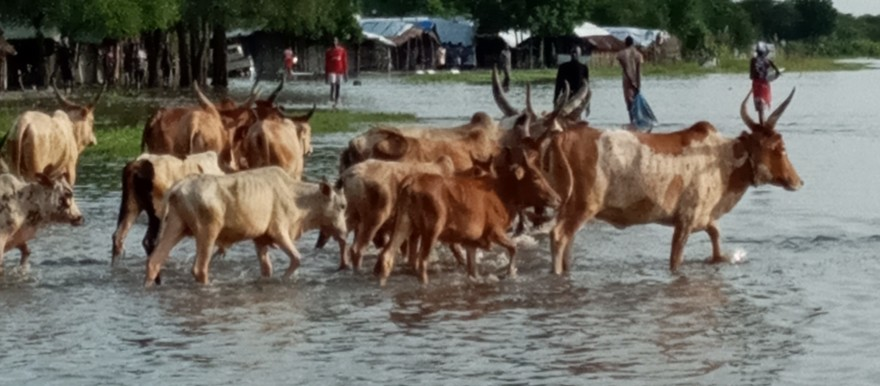Cattle in Ayod county navigating heavy floods(Photo credit: supplied)
