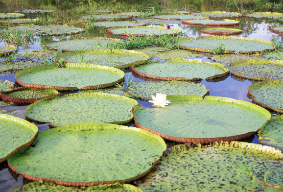 lotus in water plant diagram yamaha moto 4 350 wiring the amazon lily adapted to river s rise and fall talk back