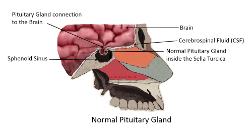 small resolution of the posterior pituitary gland regulates water balance in the body through the kidneys as well as stimulating lactation and contractions during pregnancy