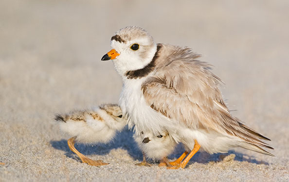 a piping plover and its chicks hang out on a beach