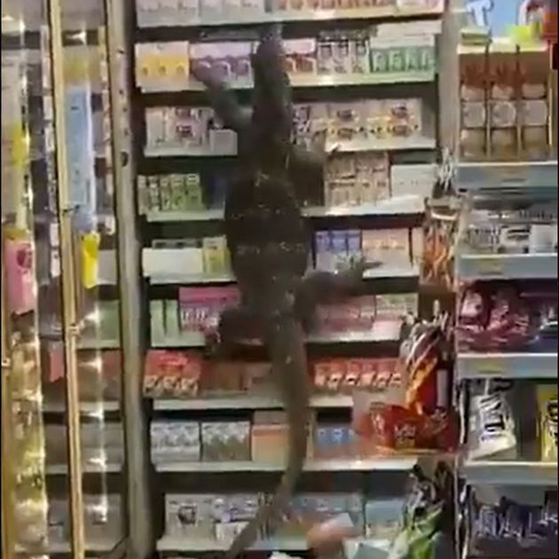 SEE IT: 'Godzilla,' aka a giant monitor lizard, stops at a 7-Eleven in  Thailand, claws its way up the shelves - Around World journal