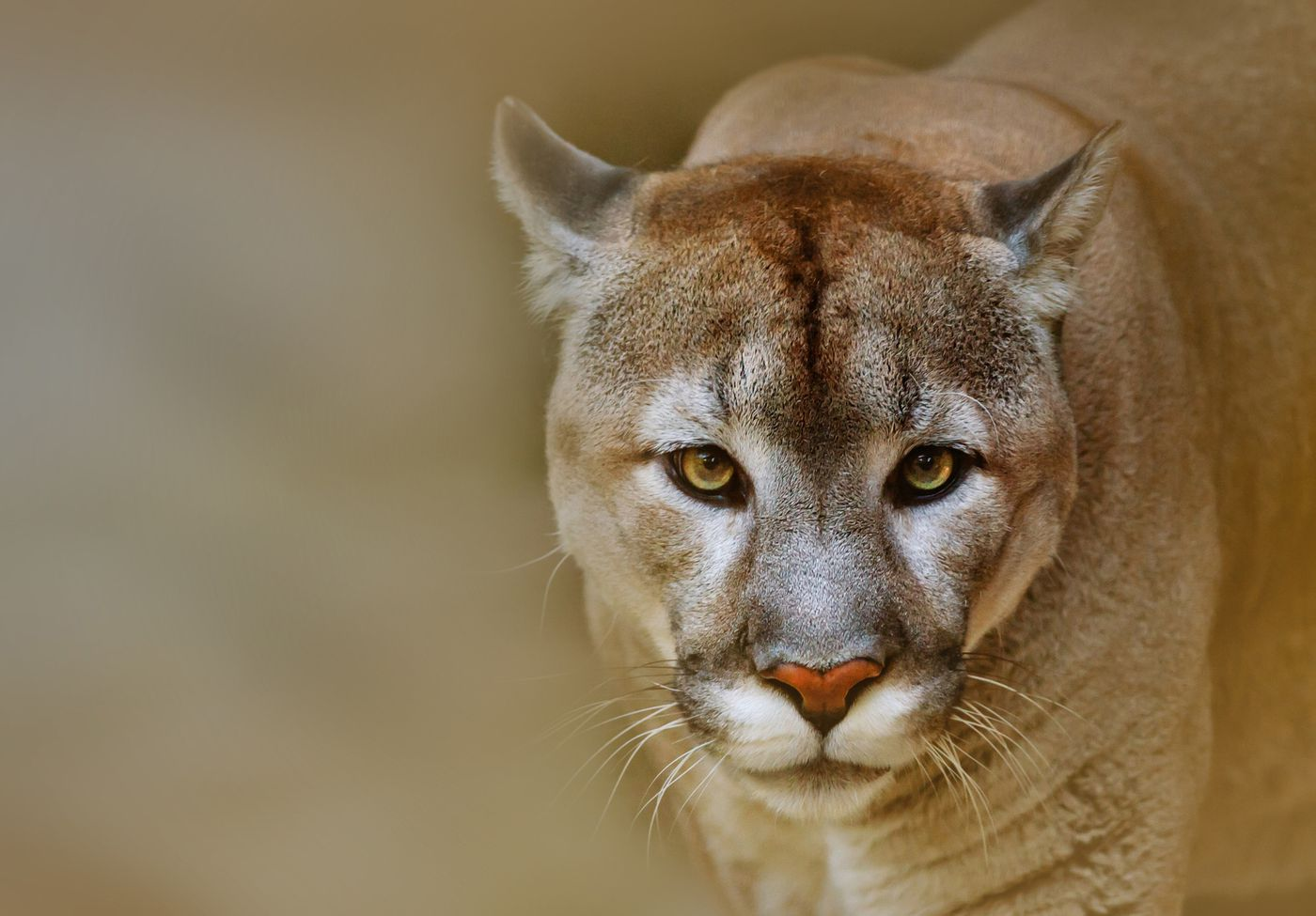 New York Mets Wallpaper Hd Texas Zoo Forced To Close Down After A Wild Mountain Lion