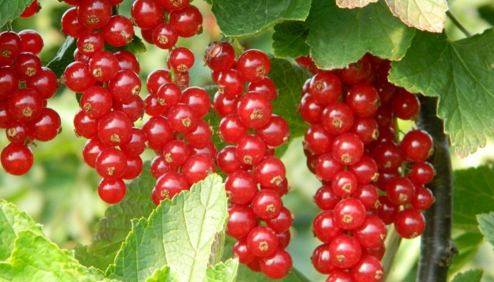 Red and White Currant – Ribes Rubrum