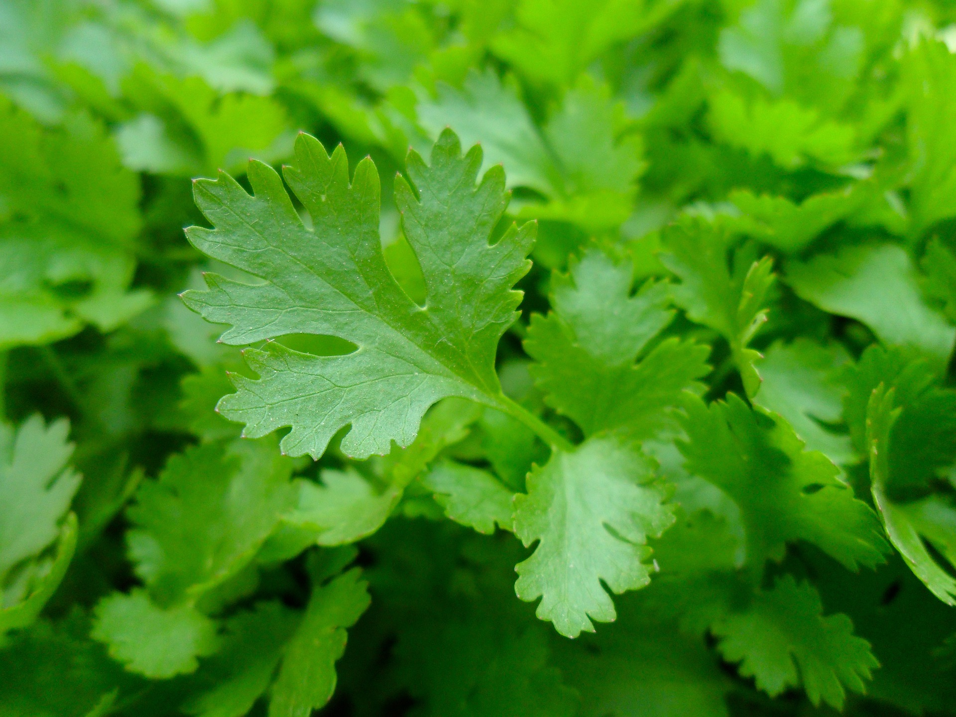 Parsley – Petroselinum Crispum