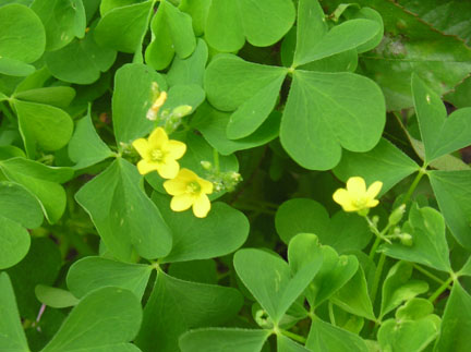 Oxalis Stricta – Yellow Woodsorrel