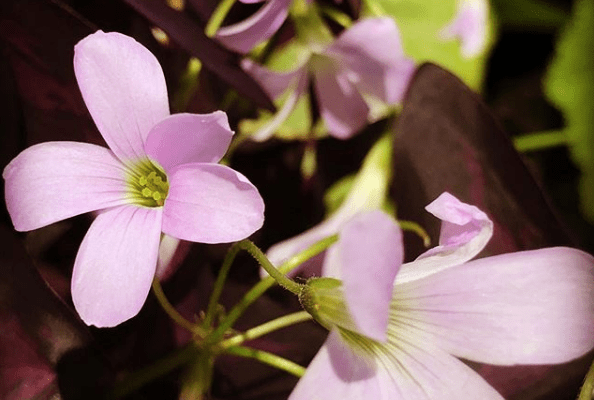 Oxalis triangularis, Purple Rain Shamrock,