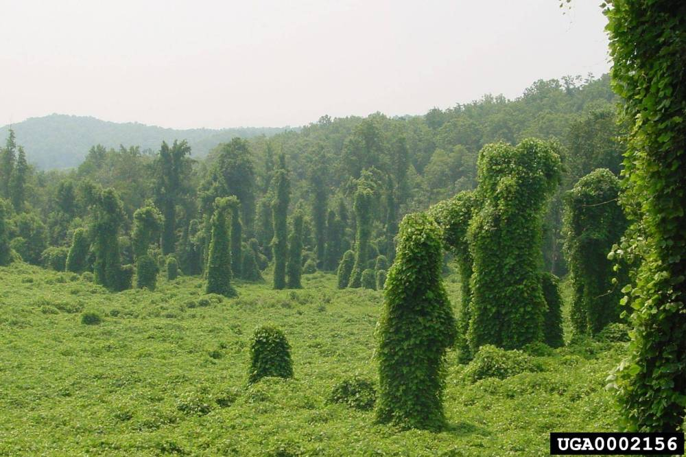 medium resolution of once kudzu gains access to the forest canopy the liana formed can spread faster and more aggressively through a forest