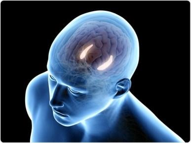 the hippocampus 300x225 - The Neuro-Protective Properties of Reishi Mushroom