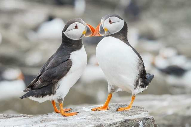 Cheap-and-Inexpensive-Things-to-do-in-Iceland-Puffins