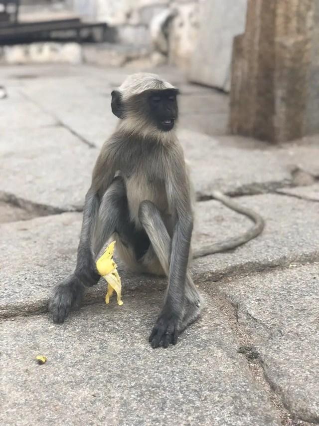 Golden Chariot India Luxury Train Virupaksha temple monkey