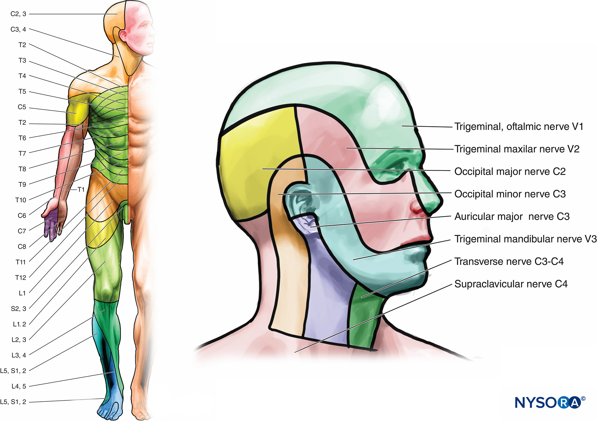 nerves in neck and shoulder diagram answer the questions based on venn functional regional anesthesia anatomy nysora figure 5 a b dermatomes anterior