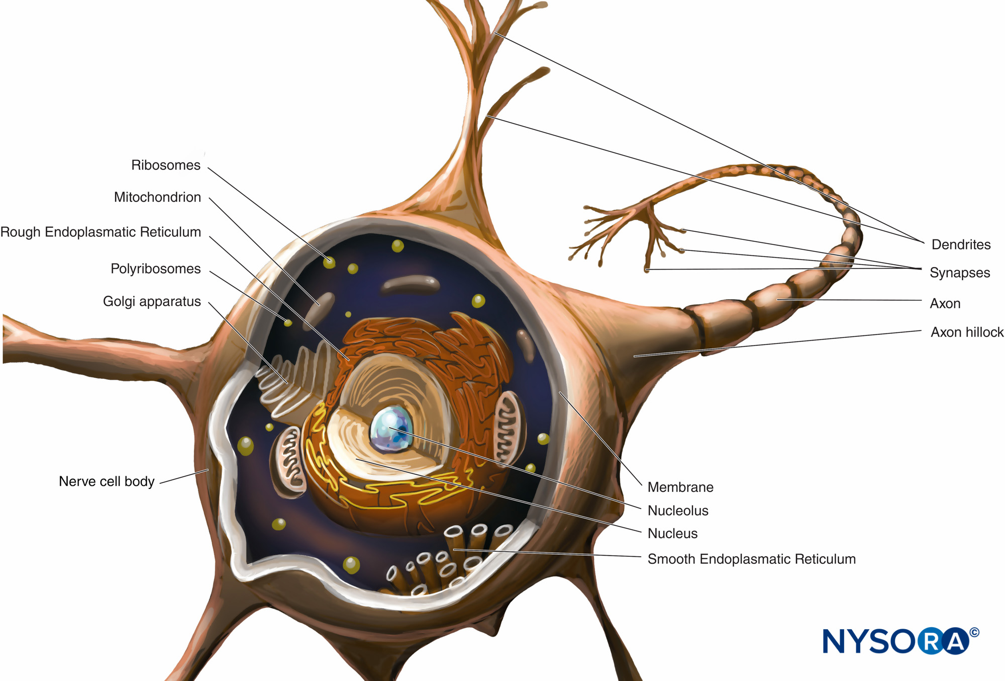 hight resolution of diagram of a multipolar neuron the nerve cell body dendrites and proximal part of the axon are within the cns the axons exiting the cns distal to
