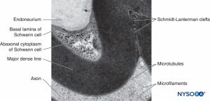 Histology of the Peripheral Nerves and Light Microscopy  NYSORA