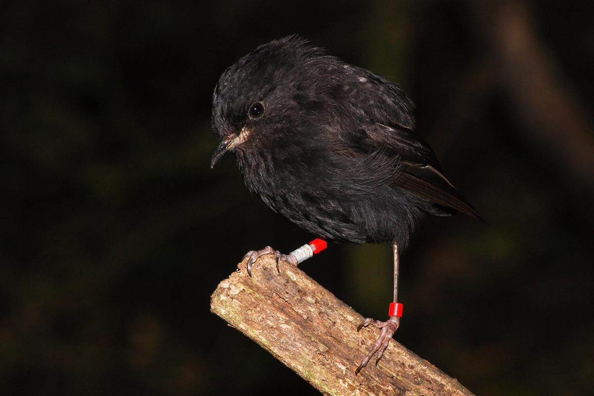 Black robin  New Zealand Birds Online
