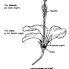 Flower Parts Diagram Without Labels 2001 Chevy Suburban Headlight Wiring Summary Hibbiscus Flow Cut In Halt