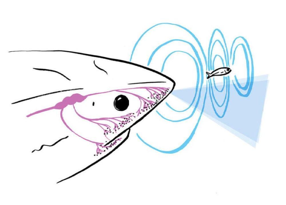 『Sharkbanz』から発生する電磁波がサメの第六感である電気受容器を狂わせる