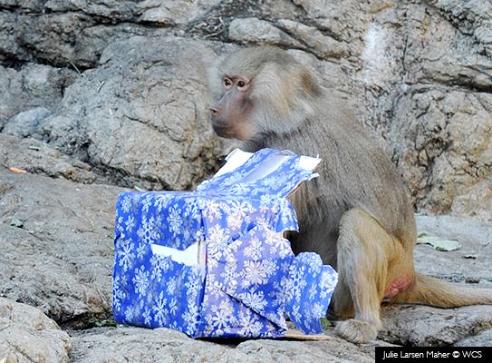 Babuino con regalo - Bronx © Julie Larsen Maher/WCS