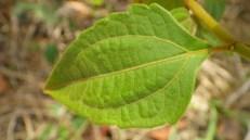 Devil weed leaves have 3 veins resembling a pitchfork.