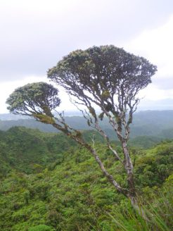 Healthy ʻōhiʻa with its trademark silhouette