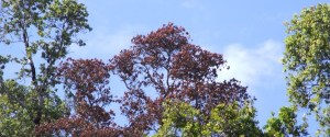 Rapid Ohia Death symptoms include rapid browning of affected tree crowns. Trees die so fast, the leaved remain even after the tree has died.