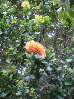 ʻōhiʻa blossoms can be red, yellow or this salmon color.