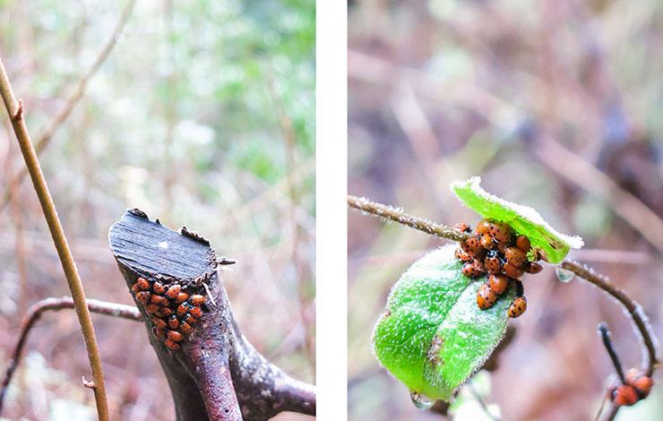 Lady Bugs 3
