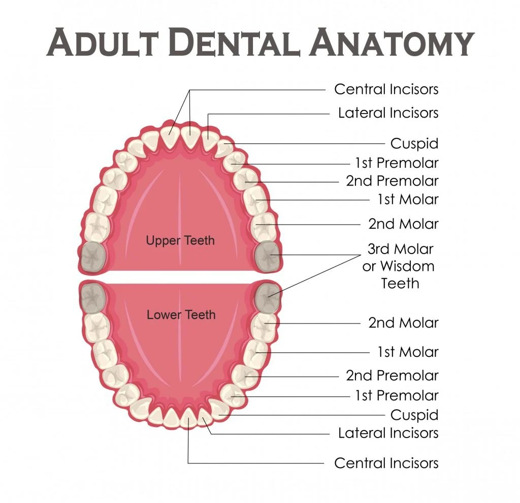 tooth diagram with label left bundle branch block heart what are wisdom teeth