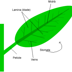 Draw A Diagram Of Photosynthesis Simple Am Receiver Circuit Parts Leaf – Gardening Tips And Advice Oak