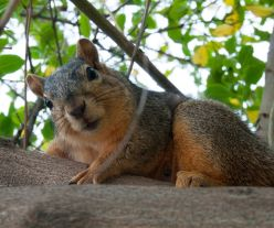 """SAY CHEESE: One webisode in the WTTW digital series """"Urban Nature"""" explores why the population of red and gray squirrels are divided by Austin Boulevard. The series will stream online starting March 20.   Submitted photo by WTTW"""