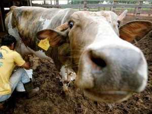 Técnica de vacina contra febre aftosa para criações de gado simula proteína do vírus e pode ser usada para produção de vacinas para humanos AP