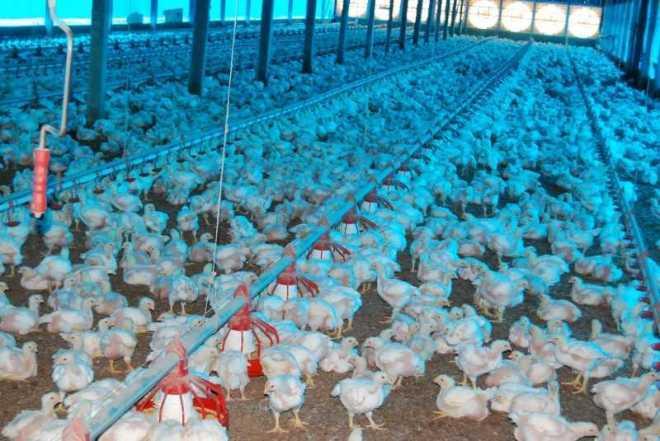 Fotos 1 e 187: produtores investem em melhoria da infraestrutura dos aviários (Fotos: Assessoria Seaprof)