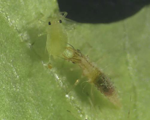 草蛉幼蟲捕食蚜蟲