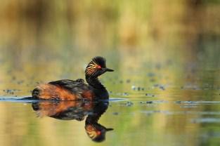 Potápka černokrká (Podiceps nigricollis)