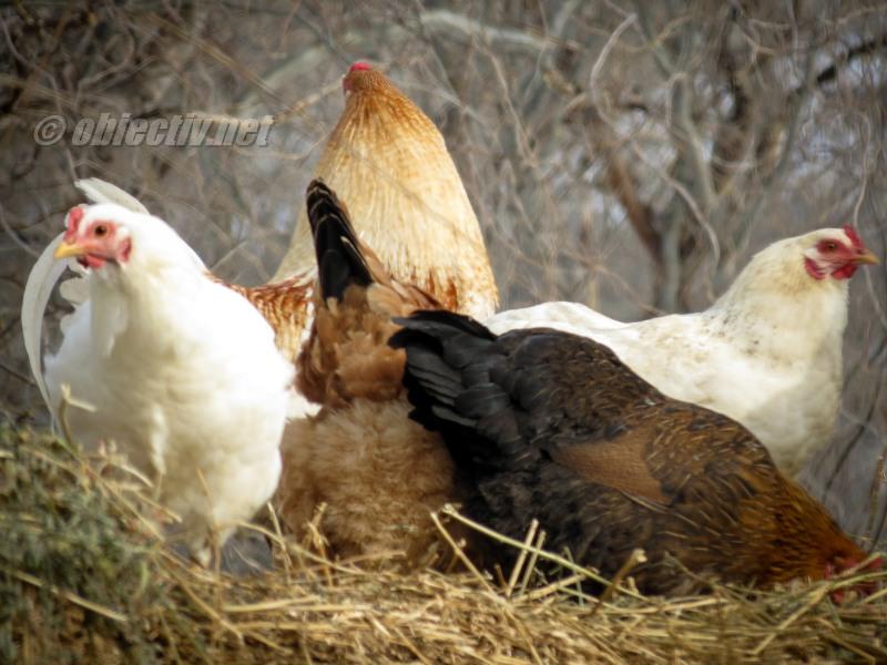 Ialomița: Analiză de risc epidemiologic în direcția gripei aviare. Restricții!