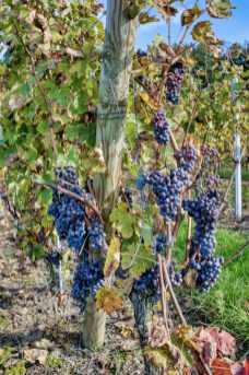 brissac quincé la foret et les vignes_JFP58826