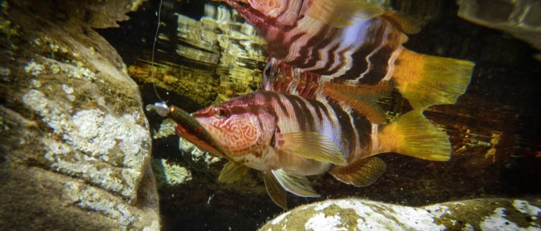 serran en rockfishing