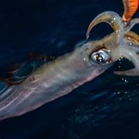 Pêche du calamar