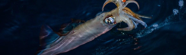 peche du calamar