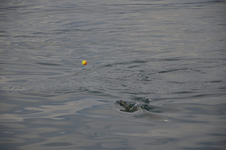 pêche du tassergal au vif