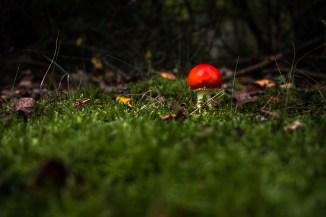 Amanita muscaria - Fliegenpilz