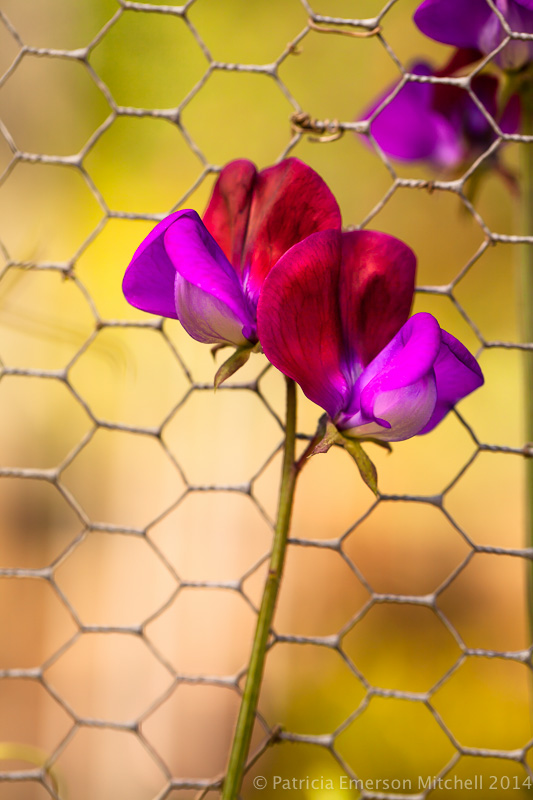 Sweet_Pea_Flowers_on_a_Fence,_4.22.14