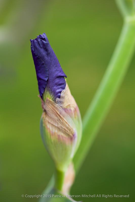 Unopened_Purple_Iris,_2.9.14