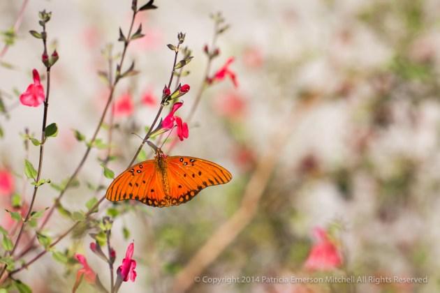 Orange_Butterfly,_11.6.14